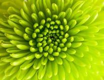 зеленый цвет хризантемы Стоковые Изображения