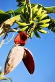 зеленый цвет цветка бананов Стоковая Фотография RF