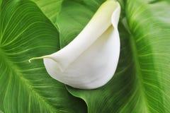 зеленый цвет цветка выходит белизна Стоковые Изображения RF