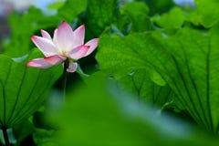 зеленый цвет цветка выходит лотос красной определяет Стоковые Изображения RF