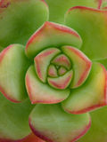 зеленый цвет цветка кактуса Стоковое Изображение