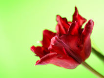 зеленый цвет цветка предпосылки красивейший над красным тюльпаном Стоковое Изображение RF