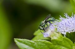 зеленый цвет цветка пчелы Стоковые Фото