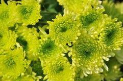 зеленый цвет цветка цвета хризантемы Стоковые Фотографии RF