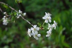 зеленый цвет цветка appletree Стоковое фото RF