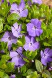 зеленый цвет цветков выходит главный фиолет vinca Стоковая Фотография