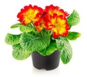 зеленый цвет цветков выходит красный цвет бака Стоковые Изображения