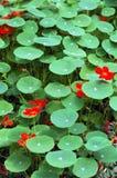 зеленый цвет цветков выходит красный цвет Стоковое Фото