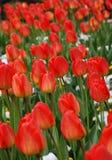 зеленый цвет цветков выходит тюльпан Стоковое фото RF