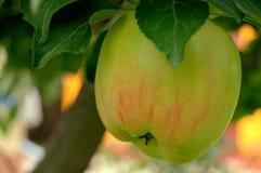 зеленый цвет яблока свежий Стоковая Фотография