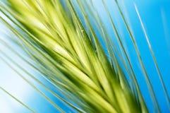 зеленый цвет ячменя стоковое фото