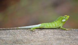 Зеленый цвет ящерицы агамы Стоковые Фотографии RF