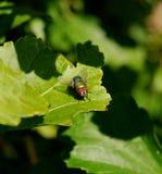 зеленый цвет 03 мух Стоковое фото RF