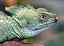 зеленый цвет 11 basilisk Стоковое фото RF