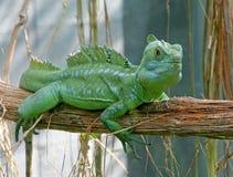 зеленый цвет 4 basilisk Стоковая Фотография