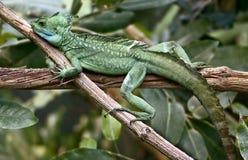 зеленый цвет 9 basilisk Стоковые Фотографии RF
