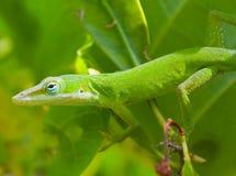 зеленый цвет anole Стоковые Изображения