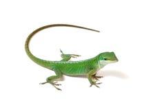 зеленый цвет anole Стоковая Фотография