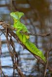 зеленый цвет basilisk Стоковые Изображения RF