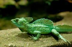 зеленый цвет basilisk Стоковая Фотография RF