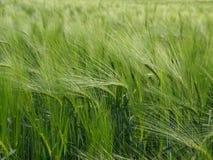 зеленый цвет bere Стоковое фото RF