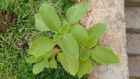Зеленый цвет Boldo Стоковое Изображение RF