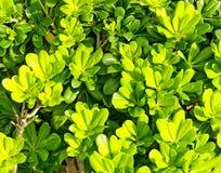 зеленый цвет bush предпосылки яркий Стоковая Фотография