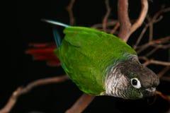 зеленый цвет conure щеки пытливый стоковое изображение