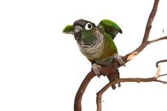 зеленый цвет conure щеки Стоковая Фотография