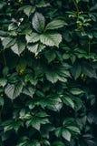 Зеленый цвет creeper Вирджинии выходит покрывать стену Стоковые Изображения