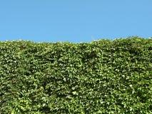 зеленый цвет creeper Стоковое фото RF