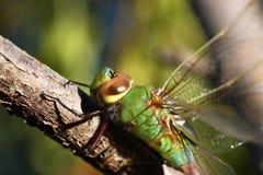 зеленый цвет dragonfly Стоковая Фотография RF