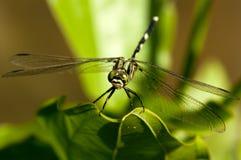 зеленый цвет dragonfly стоковые фото