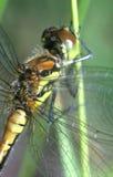 зеленый цвет dragonfly Стоковые Изображения RF