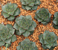 зеленый цвет echeveria Стоковое фото RF