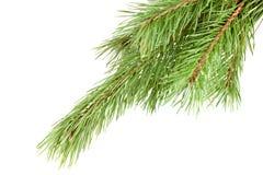зеленый цвет firtree Стоковые Изображения