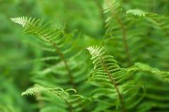 зеленый цвет fronds папоротника Стоковые Фотографии RF