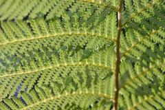 зеленый цвет fronds папоротника Стоковое Изображение