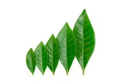 зеленый цвет gardenia выходит рядок Стоковые Фотографии RF