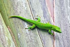 зеленый цвет gecko стоковые фотографии rf