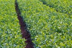 зеленый чай плантации Стоковое Изображение