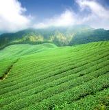 зеленый чай плантации Стоковые Изображения