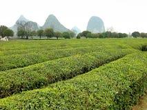 зеленый чай Стоковые Фотографии RF