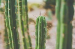 Зеленый экзотический кактус, природа, зеленая предпосылка Мексиканец, travelli Стоковые Фото
