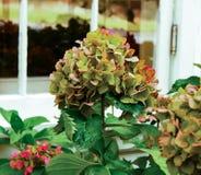 Зеленый эркер цветка гортензии растущий внешний более старого дома Стоковое фото RF
