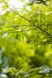 зеленый японец выходит клен стоковое изображение