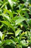 зеленый японский чай завода Стоковые Фотографии RF