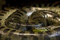 Зеленый anaconda, murinus Eunectes, змейка sucuri огромно стоковые изображения rf