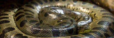 Зеленый anaconda, murinus Eunectes, змейка sucuri огромно стоковое изображение