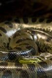 Зеленый anaconda, murinus Eunectes, змейка sucuri огромно стоковые изображения